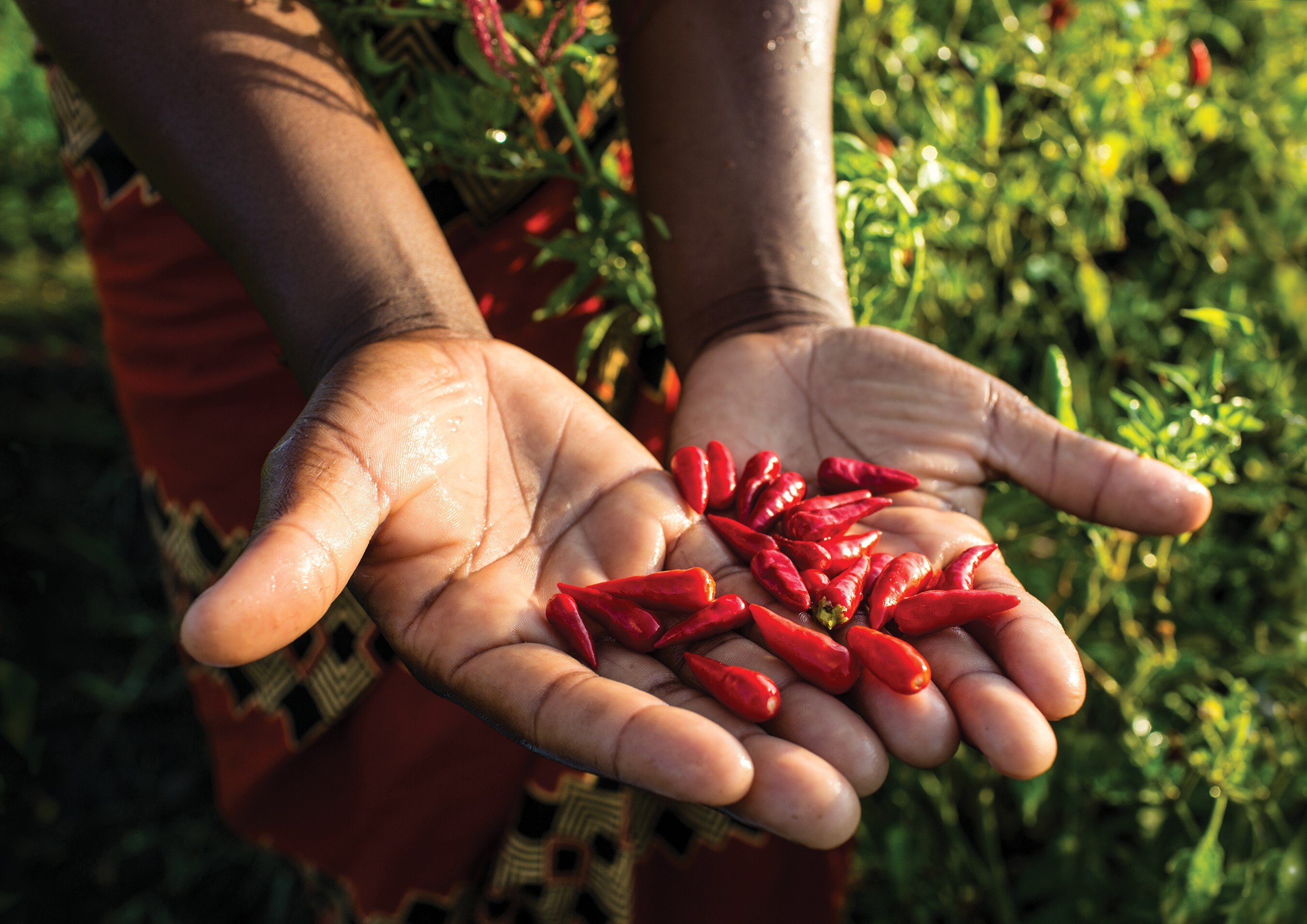Person with a handful of African Bird's Eye chillies